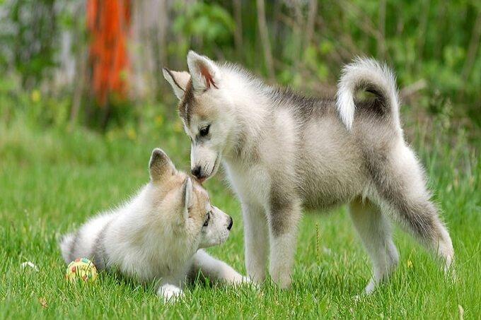 Hai chú chó husky con xám trắng thuần chủng