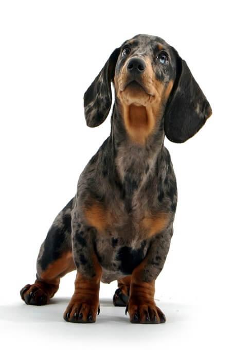 Một chú chó lạp xưởng tiêu chuẩn điển hình