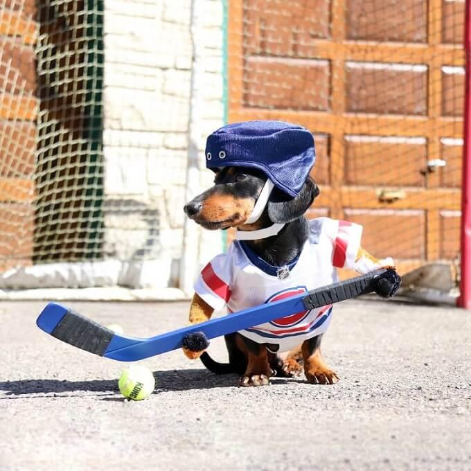 Bạn không nên cho chó lạp xưởng con vận động quá sức khi còn nhỏ