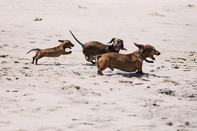 Thân hình dài, cơ bắp, với đôi chăn ngắn, chó dachshund tạo nên sự khác biệt với hầu hết phần còn lại của thế giới loài chó