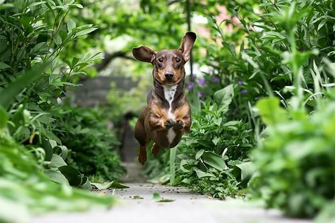 Với bản tính nguyên thủy là một giống chó săn, chó lạp xưởng cần được vận động và tập thể dục hàng ngày.