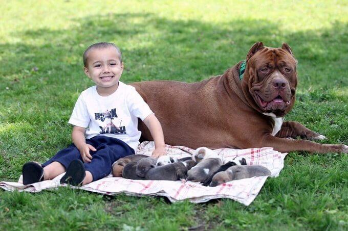 Chú chó pitbull khổng lồ Hulk từng được huấn luyện tại trường cảnh khuyển Dark Dynasty K9s (New Hampshire)
