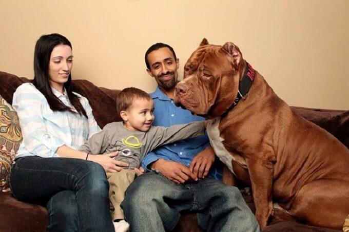 Chú chó pitbull Hulk lớn nhất thế giới của gia đình Marlon Grennan