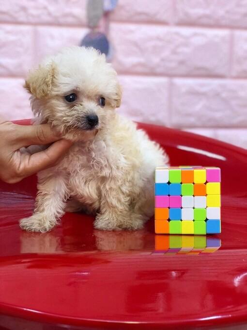Bán chó poodle teacup màu kem tháng 10.2018 Dogily Petshop