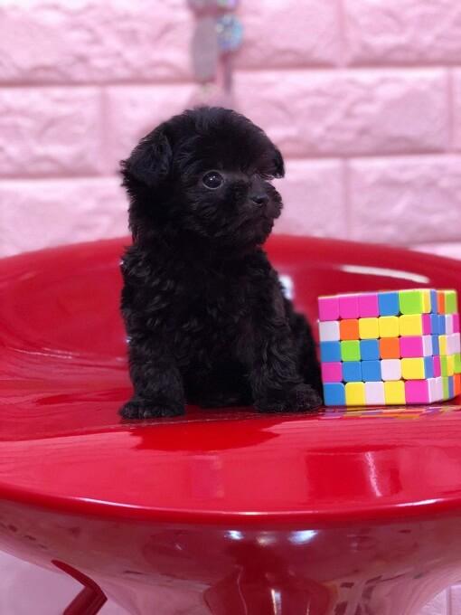 Bán chó poodle teacup màu đen thuần chủng