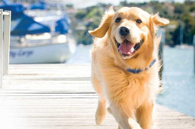 Chó Golden cần được vận động, chơi