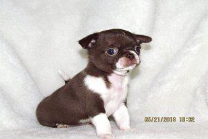 Bán chó chihuahua nhập khẩu Dogily Petshop 1