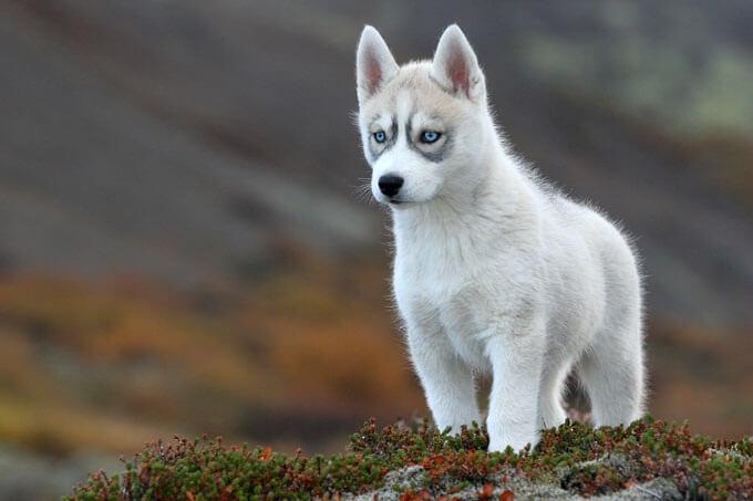 Một chú chó husky trắng tuyết tuyệt đẹp