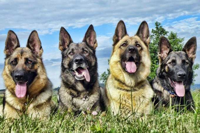 Những chú chó Becgie GSD nhập khẩu thường có giá thành rất cao. Giá chó Becgie nhập khẩu dao động từ 2.000 đến vài chục ngàn USD