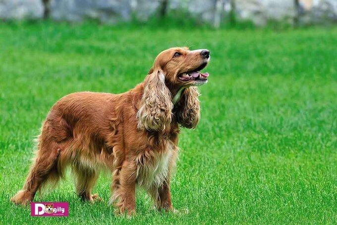 Chó cocker spaniel có một thân hình cơ bắp ẩn sau lớp lông dày