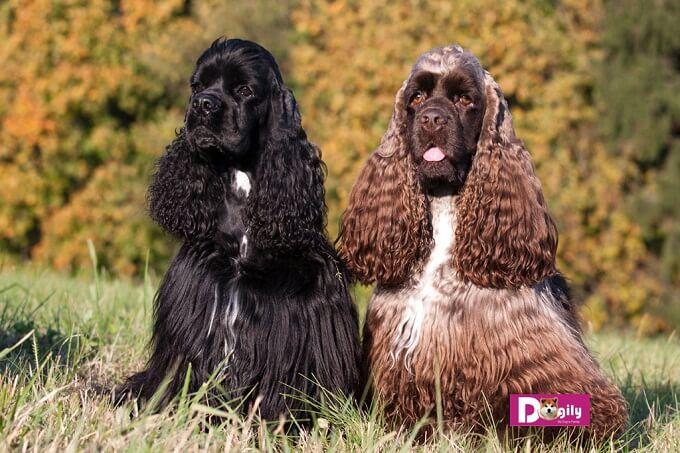 Có 2 loại chó Cocker spaniel: đó là American và English Cocker spaniel