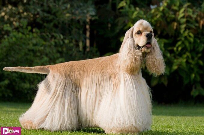 Việc vệ sinh cơ thể cho chó Cocker spaniel cần được thực hiện thường xuyên. Đặc biệt chú ý phần tai nơi có lông dài che khuất