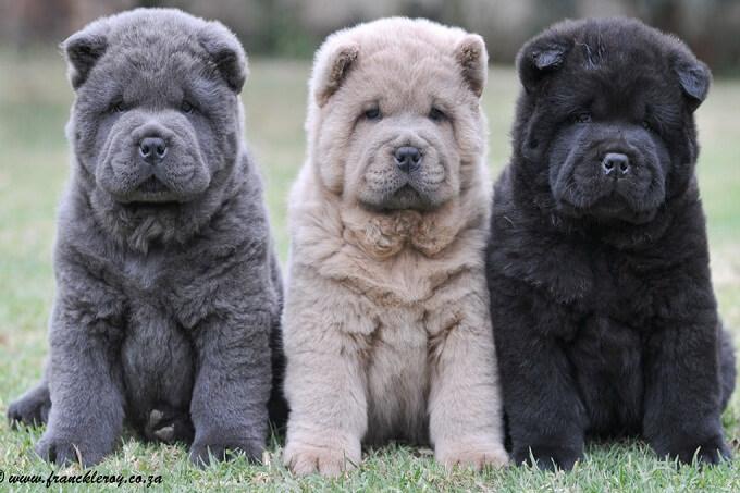 Bộ lông chó chow chow có màu sắc rất đa dang từ đỏ, đên, blue (xanh xám) đến màu vàng, kem