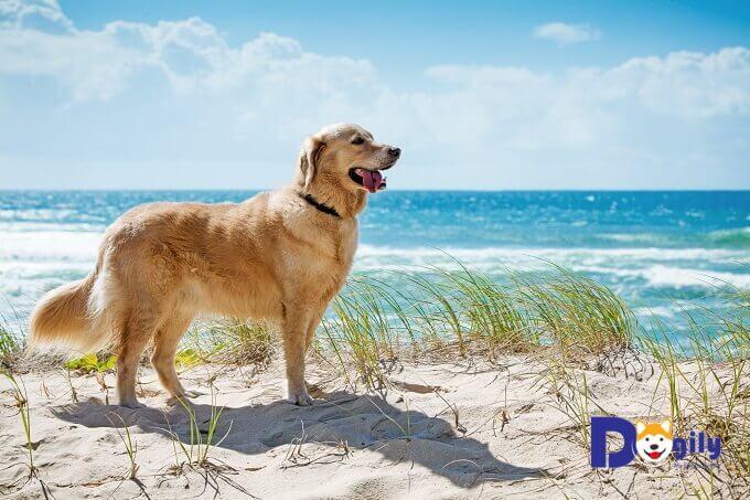 Nếu được chăm sóc sức khỏe tốt, chó Golden Retriever có thể có tuổi thọ lên đến 10-12 năm.