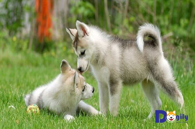 Cách chăm sóc, nuôi chó husky.