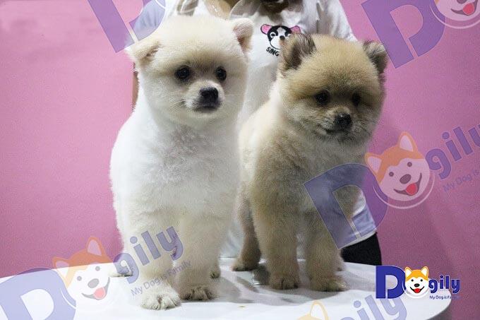 Hai chú chó Pomeranian mặt gấu được cắt tỉa lông theo tạo hình chú chó Boo tại Dogily Spa & Groooming.