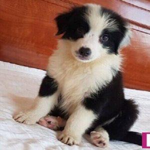 Chó border collie thuần chủng đẹp của Dogily Kennel