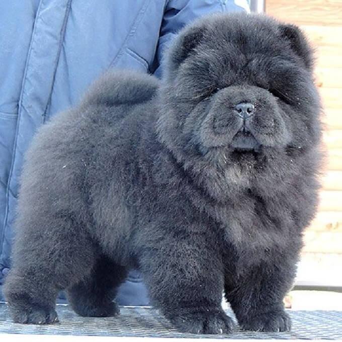 Ngoài màu vàng, chó chow chow còn có thể có màu xám hoặc đen