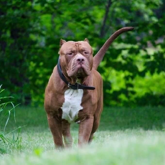 Chó pitbull cần được chăm sóc cẩn thận trong điều kiện khí hậu tại Việt Nam