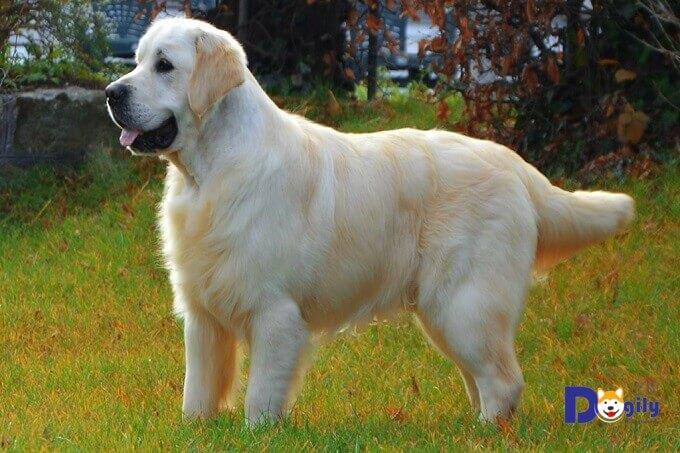 Một chú chó Golden retriever màu vàng kem tương đối hiếm gặp.