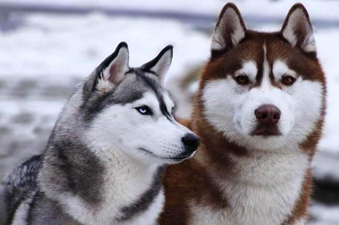 Dogily Petshop - Chó husky nâu đỏ và xám trắng