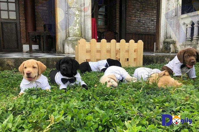Một đàn chó Labrador thuần chủng 2 tháng tuổi đủ màu vàng kim, đen, nâu socola bán tại hệ thống của Dogily Pet Shop.