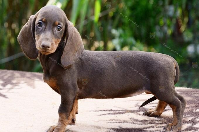 Chó Dachshund thuần chủng trưởng thành màu socola.