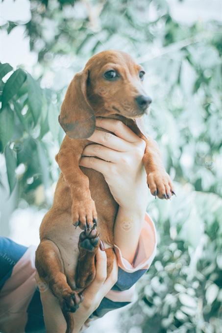 Chó xúc xích Dachshund sinh tại trại của Dogily Kennel xuất bán từ 2 tháng tuổi. Được tiêm phòng 2 mũi, tẩy giun đầy đủ.