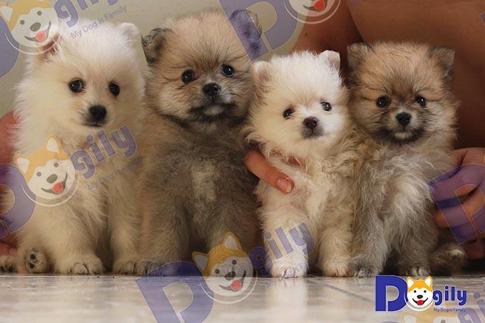 Đàn chó phốc sóc 1 tháng tuổi tại trang trại Dogily Pet Shop.