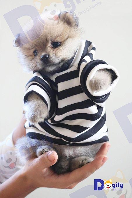 Chó Pom có kích thước nhỏ nhắn, xinh xắn trọn vẹn trong lòng bàn tay.