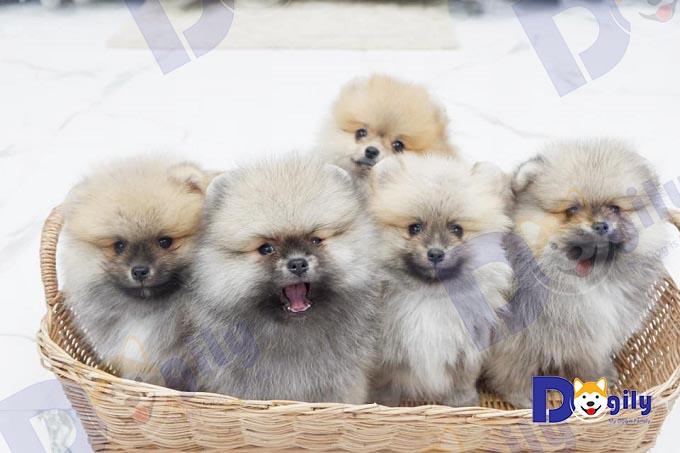 Chó Phốc Sóc Pomeranian.