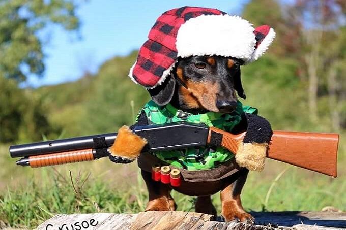 Là một thợ săn thiện nghệ, trong nhà bạn sẽ sạch bóng chuột nếu nuôi một chú chó Dachshund.