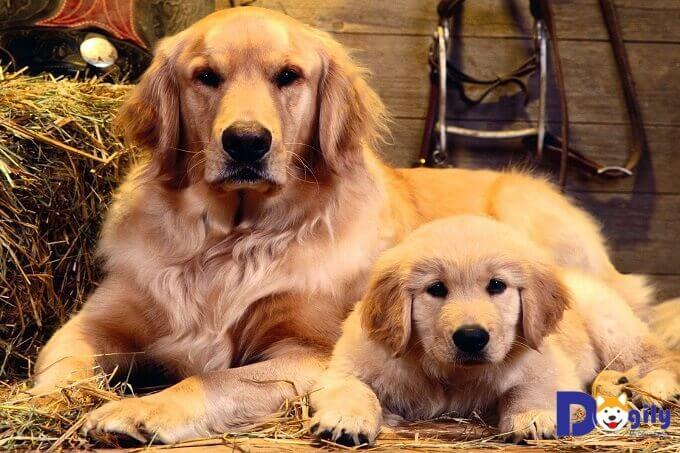 Bạn cần lựa chọn mua chó Golden con từ một người bán có uy tín.