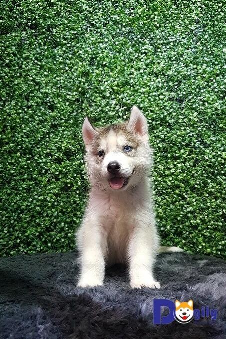 Giá bán chó Husky không giấy tại Việt Nam khoảng từ 5 - 8 triệu đồng.