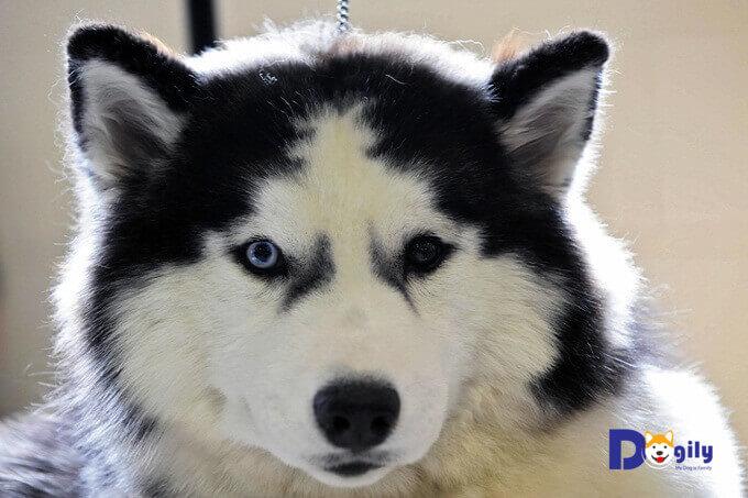 Chó Husky thuần chủng nhập khẩu thường có giá rất cao. Nhưng bạn hoàn toàn yên tâm về chất lượng, độ thuần chủng cũng như giấy tờ đầy đủ.