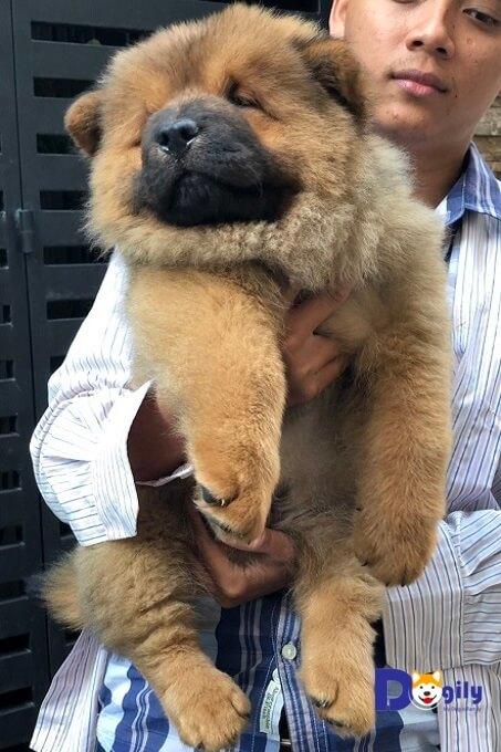 Mua chó chow chow tại Dogily Petshop có hợp đồng mua bán rõ ràng, giấy bảo hành và hướng dẫn chăm sóc chó con. Bảo hành sức khỏe 15 ngày, free Ship toàn quốc. Tư vấn chăm sóc, dinh dưỡng trọn đời.