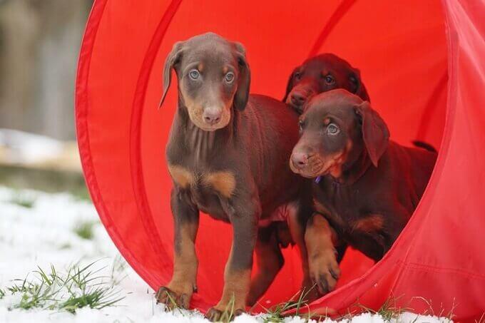 Chó Doberman được cho rằng lai tạo từ một số giống chó nổi tiếng của Đức