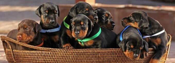 Bạn nên lựa chọn mua chó Doberman từ những người bán có uy tín