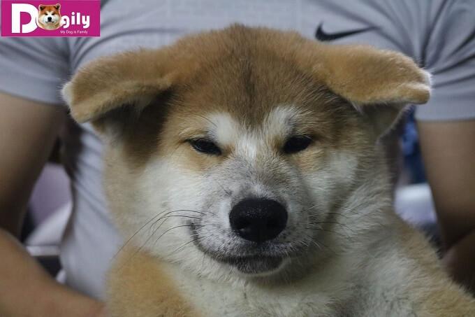 Bán đàn chó Akita Inu tháng 11.2018 - Dogily Petshop 1