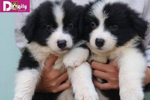 Bán đàn chó Border collie đen trắng tuyệt đẹp tháng 11.2018 - Dogily Petshop