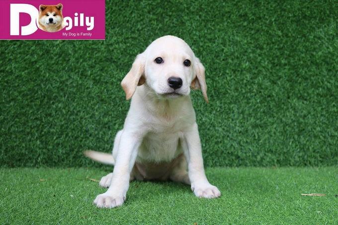 Chó labrdor màu trắng là màu được ưa chuộng nhất hiện nay tại Việt Nam