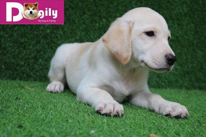 Bán em chó Labrador retriever tháng 11.2018 - Dogily Petshop