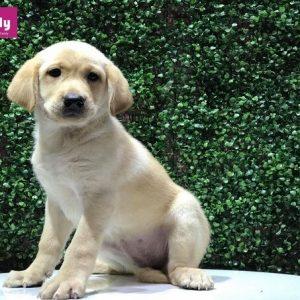 Bán chó Labrador tháng 11.2018 - Dogily Petshop 2
