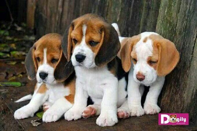 Bạn cần tìm hiểu kỹ trước khi mua chó Beagle. Nên mua chó con thuần chủng từ những người bán có uy tín để tránh gặp phải các bệnh di truyền, tật, lỗi không đáng có