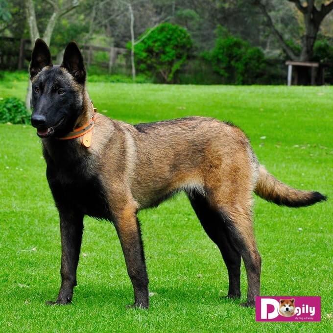 Với những đặc điểm nổi trội về thể trạng, giác quan nhạy bén, chó béc bỉ malinois rất được ưa chuộng để huấn luyện thành chó nghiệp vụ K9, đặc biệt là trong việc bảo vệ các nguyên thủ quốc gia