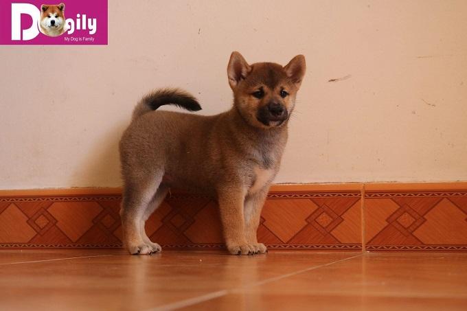 Một chú chó Shiba Inu con thuần chủng được nhân giống tại trang trại của Dogily Kennels