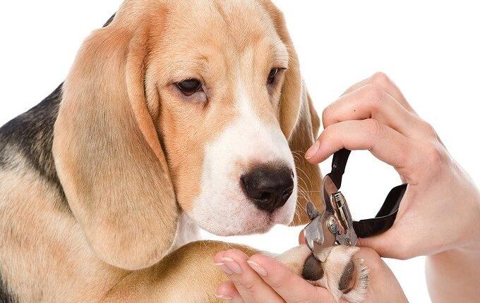 Cắt móng chân cho chó khiến chó cún cưng của bạn thoải mái và dễ chịu