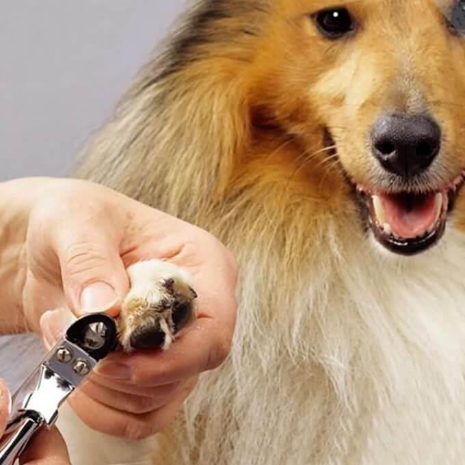 Điều quan trọng nhất trong việc cắt móng cho chó là bạn cần đặc biệt lưu ý không cắt vào phần móng hồng có chứa tủy