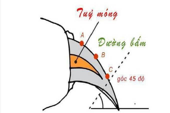 Cách cắt móng cho chó theo góc nghiêng 45 độ. Bạn chỉ nên cắt bằng kìm chuyên dụng dành cho chó mèo.