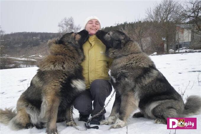 Hình ảnh chó chăn cừu Kavkaz (chó Caucasian) khổng lồ